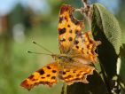 Robert le diable (Polygonia c-album)