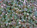Renouée rose, Persicaria capitata
