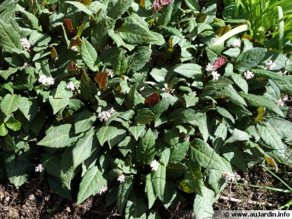Renouée tenuicaule, Persicaire, Persicaria tenuicaulis