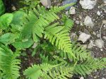 Polypode commun, réglisse des bois, Polypodium vulgare
