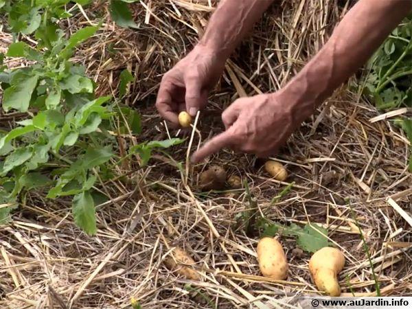 Récolte de pommes de terre cultivées sous paille