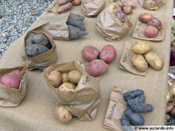 Différentes variétés de pommes de terre exposées