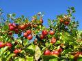 L'éclaircissage des arbres fruitiers