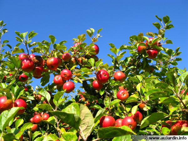 Arbre fruitier pommier - Comment planter un cerisier ...