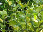 Branches épineuses du Citronnier épineux, Poncirus trifoliata