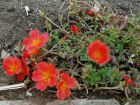 Pourpier � grandes fleurs, Chevalier-d'onze-heures, Portulaca grandiflora