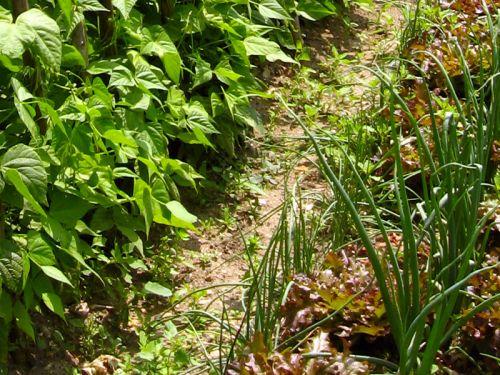 lutter contre les mauvaises herbes au potager. Black Bedroom Furniture Sets. Home Design Ideas