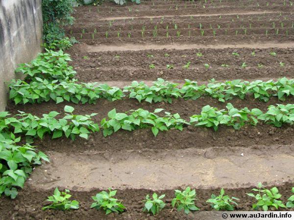 Pas toujours simple de cultiver dans un potager cloisonné qui produit beaucoup d'ombre
