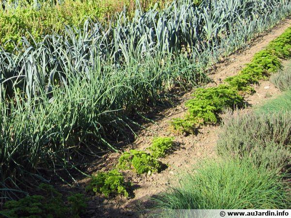 Rangs de légumes au potager