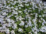Couvre-sol à étoiles bleues, Pratia pedunculata