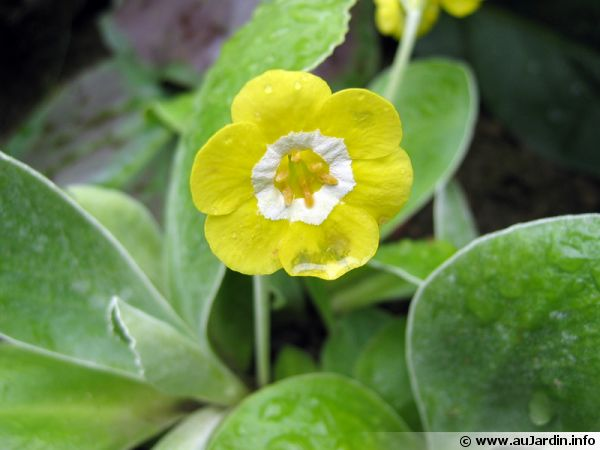 Auricule, Oreille d'ours, Primula section auricula