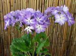 Primevère de Siebold, Sakurasoo, Primula sieboldii