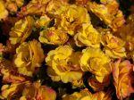 Primevère à fleurs doubles BELARINA Nectarine
