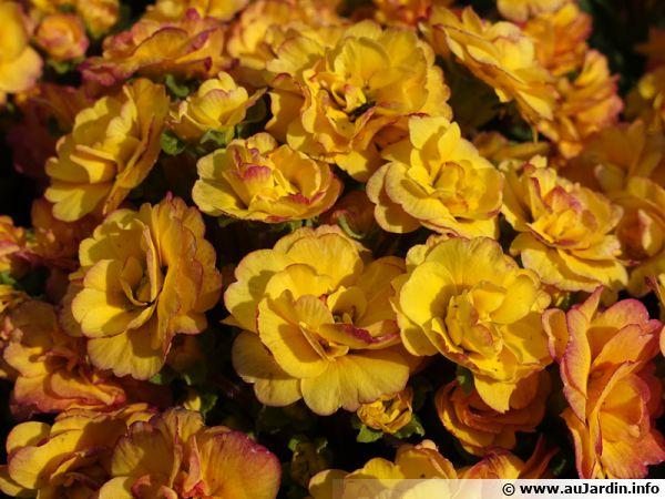 Les primevère à fleurs doubles BELARINA Nectarine sont protégés