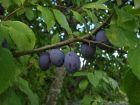 A chacun sa prune