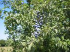 Maladies et parasites du prunier