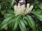 Laurier cerise, laurier palme, Prunus laurocerasus