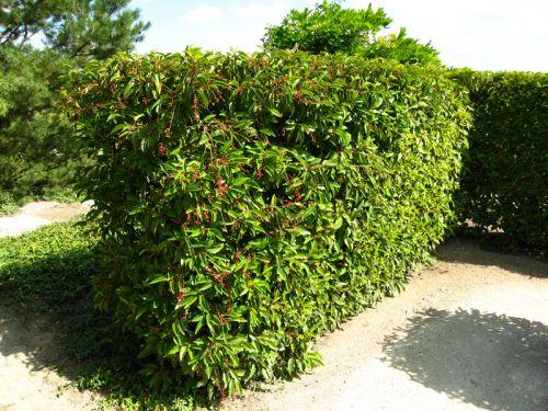 Laurier du portugal prunus lusitanica planter cultiver - Planter une haie de laurier ...