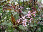 Cerisier à grappes, Bois puant, Prunus padus 'Coloratus'