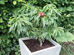 Les mini-arbres fruitiers