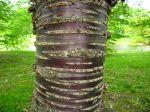 L'écorce des arbres