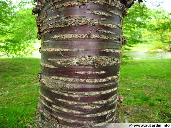 Écorce du Prunus serrula 'Tibetica'