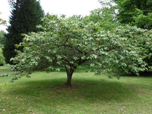 cerisier du japon prunus serrulata planter cultiver multiplier. Black Bedroom Furniture Sets. Home Design Ideas