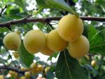 Prunier domestique, Prunus domestica