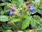 Pulmonaire à longues feuilles, Pulmonaire à feuilles étroites, Pulmonaria longifolia