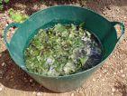 Purin d'orties, jour + 2, la fermentation a démarré avec les bulles caractéristiques
