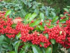 Buisson ardent, Pyracantha