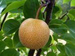Nashi, Poire asiatique, Pomme-poire, Pyrus pyrifolia