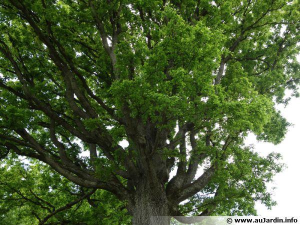 Chêne sessile, Chêne rouvre, Chêne à trochets, Quercus petraea