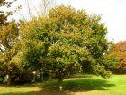 Chêne pédonculé, Quercus robur