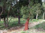 Chêne liège, Corsier, Surier, Suve, Sioure, Quercus suber