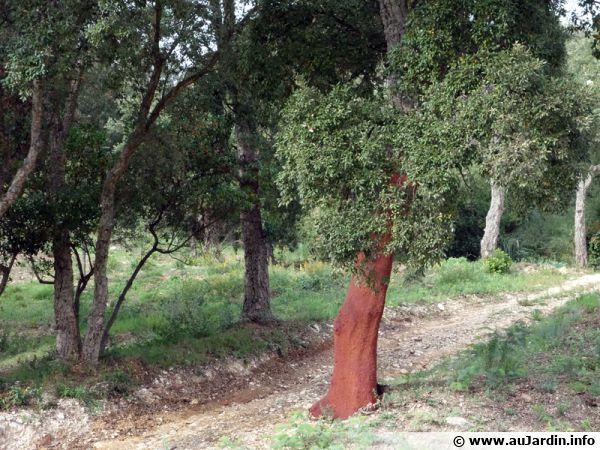 Chêne liège, Quercus suber après la récolte