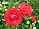 Renoncule des jardins, Renoncule des fleuristes, Ranunculus asiaticus