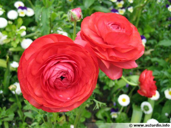 Renoncule des jardins, Renoncule des fleuristes, Renoncule d'Asie, Ranunculus asiaticus
