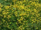 Bouton d'or, Renoncule rampante, Ranunculus repens