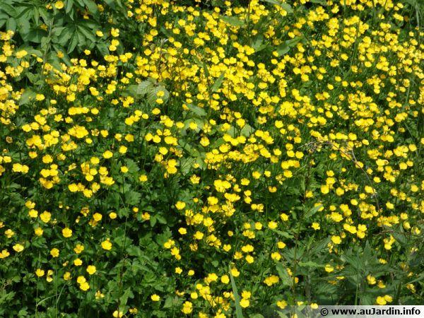 Bouton d or renoncule rampante ranunculus repens planter cultiver - Mauvaise herbe fleur jaune ...