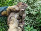 Le surmulot, un rat brun mal aimé
