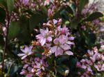 Aubépine indienne de Delacour, Raphiolepis x delacourii 'Spring Time'