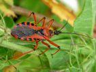 Réduve irascible, Rhynocoris iracundus