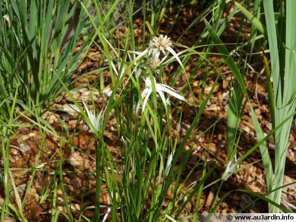 Rhynchospora colorata ou plus communément appelé Danseuse étoile est une plante qui apprécie les sols humides