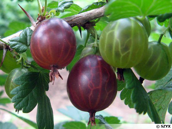 Groseillier a maquereau (Groseille), Ribes grossularia