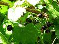 Planter, tailler et entretenir le cassissier