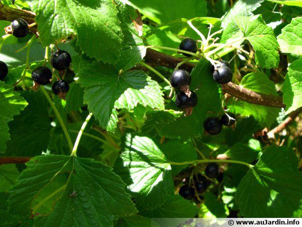 Cassissier (cassis), Ribes nigrum