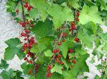 Groseillier à grappes (Groseille), Ribes rubrum