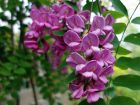 Robinier faux-acacia, Carouge, Cassie,  Robinia pseudoacacia