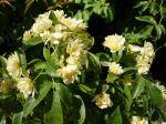 Rosier de Banks jaune, Rosa banksiae 'Lutea'